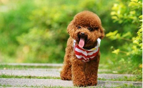 贵宾犬健康饲养知识手册